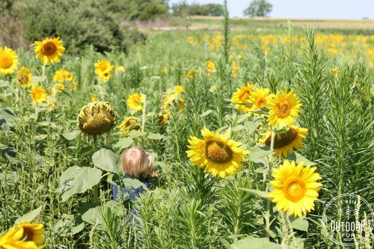 badger creek sunflower field van meter iowa