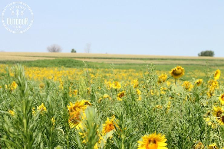 sunflower fields des moines iowa